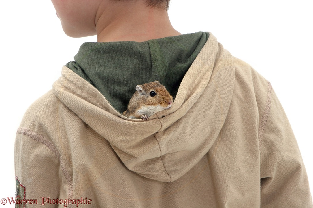 Boy with a gerbil in his hood, white background