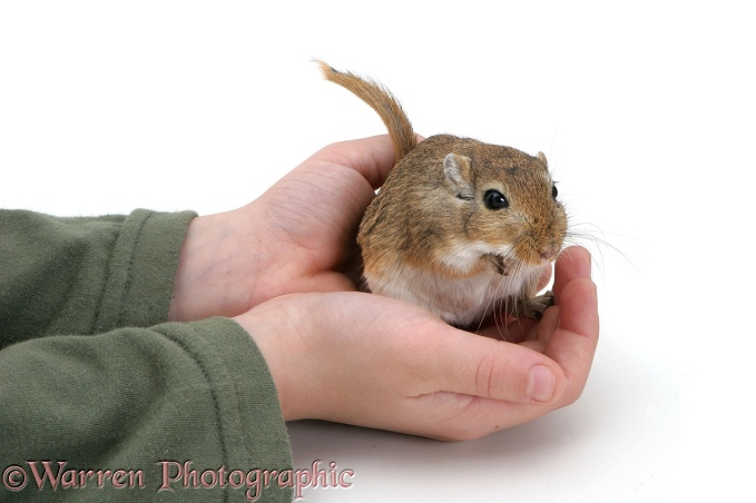 Holding a gerbil in hands, white background