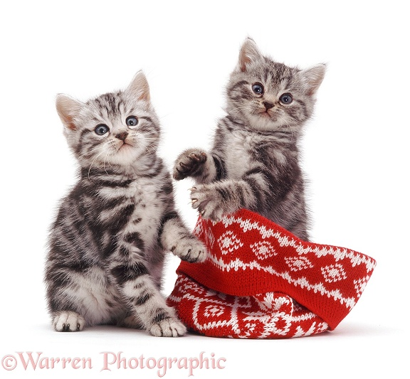 Silver tabby kittens with a woolly hat, white background