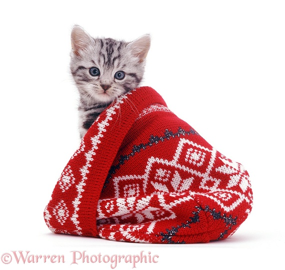 Silver tabby kitten in a woolly hat, white background