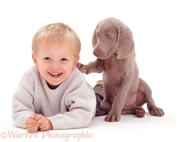 Boy and Weimaraner pup, white background