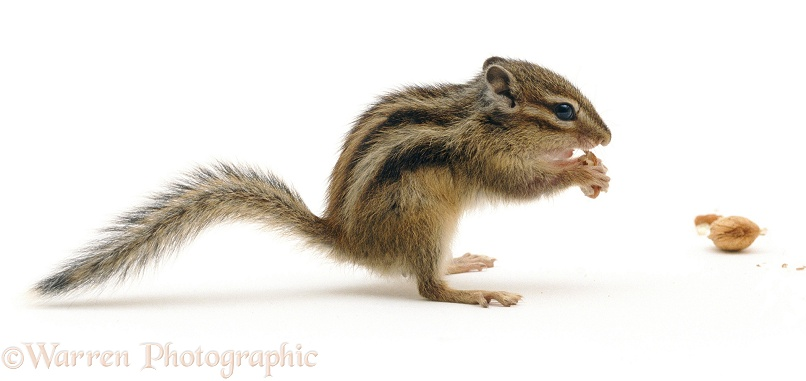 Siberian Chipmunk (Eutamias sibiricus) eating a nut, white background