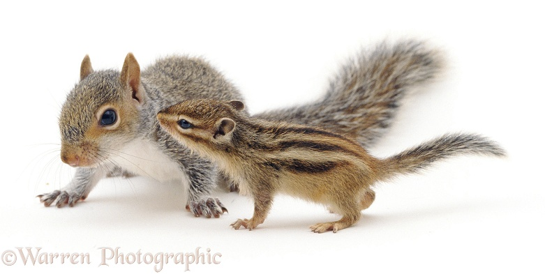 Young Siberian Chipmunk (Eutamias sibiricus) meets young Grey Squirrel (Sciurus carolinensis), white background