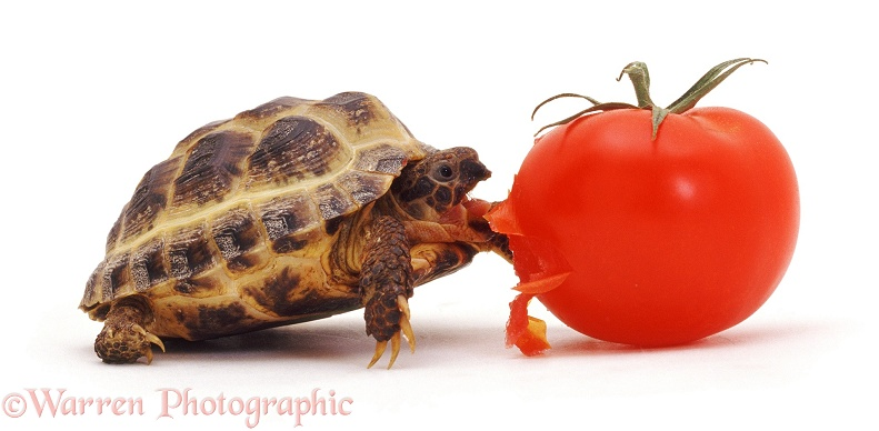 Young tortoise eating a tomato, white background