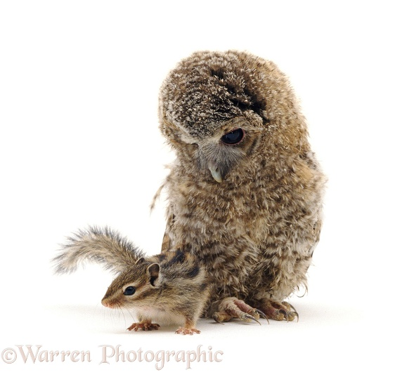Fledgling Tawny Owlet (Strix aluco) peers at baby Siberian Chipmunk (Eutamias sibiricus), white background