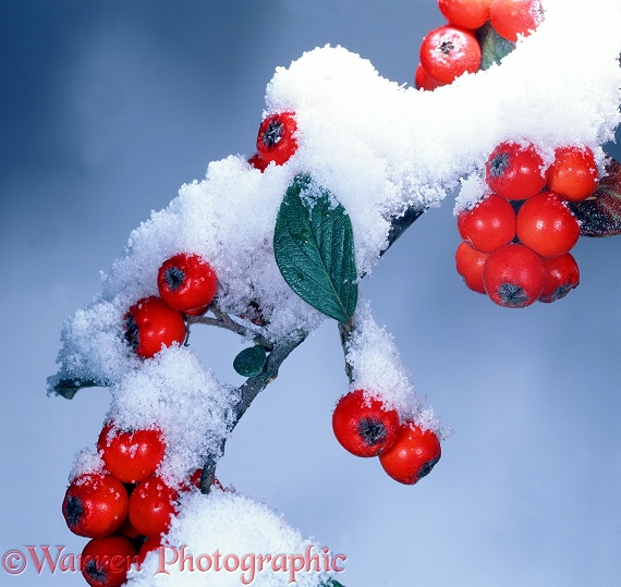 Snow on Cotoneaster berries