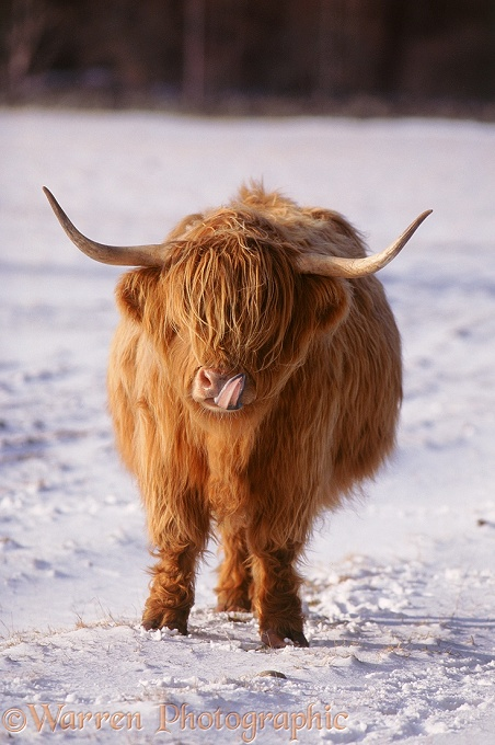 Highland cow licking its nose.  Scotland
