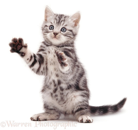 Silver tabby kitten Zebedee 'clapping hands', white background