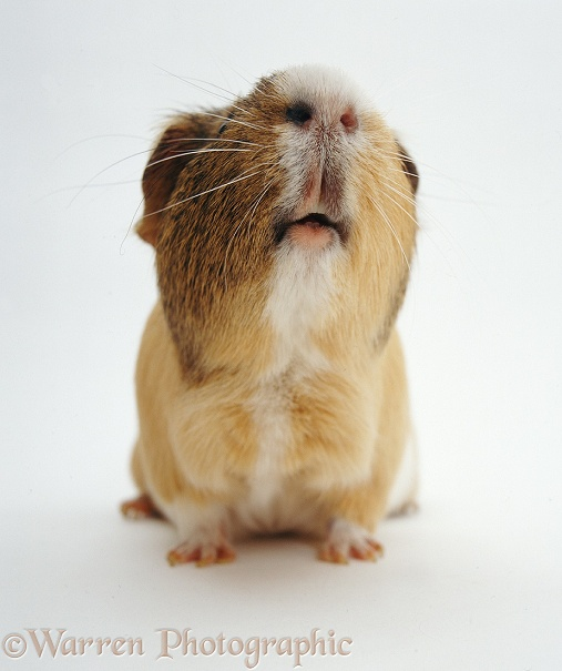 Adult male sandy, agouti-and-white Guinea pig, sniffing, white background