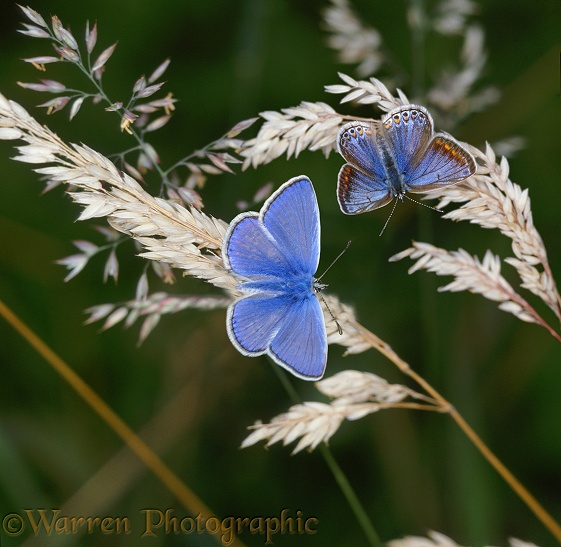 Common Blue Butterfly (Polyommatus icarus) male and female on seeding grass, August