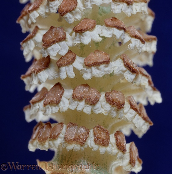 Horsetail (Equisetum pratense) cone empty of spores