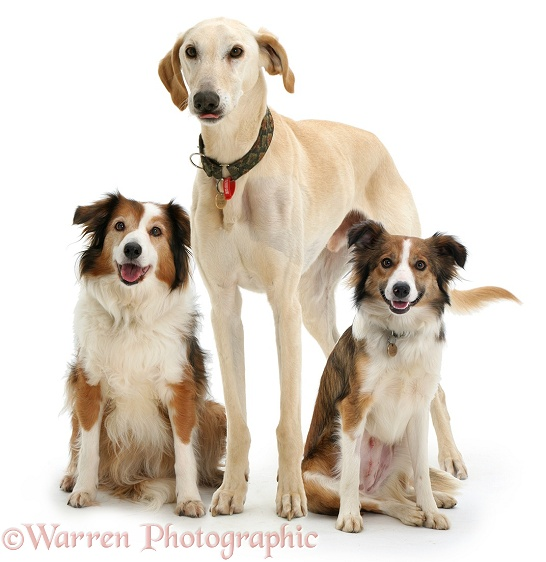 Lurcher dog Swift with Border Collie bitches Lark and Teal, white background
