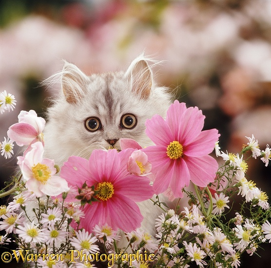 Silver tabby Persian kitten, Cosmos, among Michaelmas Daisies and Japanese Anemones