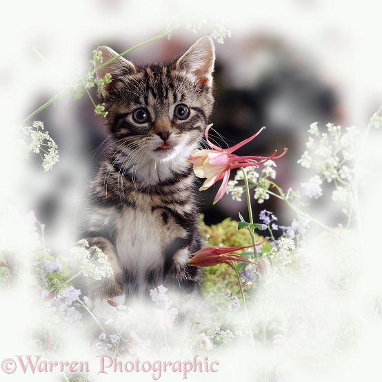 Portrait of tabby kitten among spring flowers with Columbine