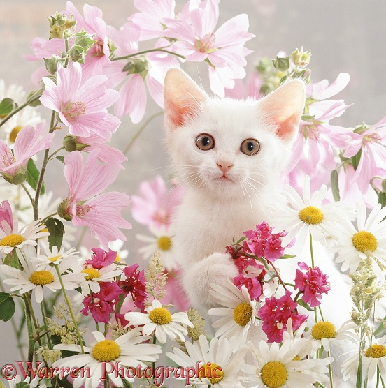 Portrait of white Thisbe kitten among ox-eye daisies, mallow and Clarkia Double