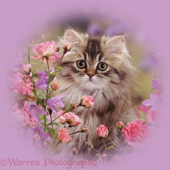 Portrait of long-haired tabby Persian kitten Goldie among dwarf roses and bellflowers