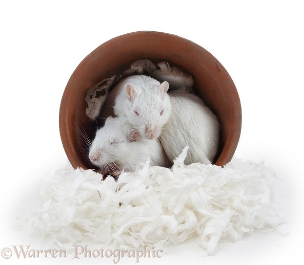 White gerbils sleeping in a flowerpot, white background