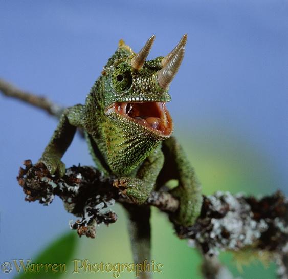 Chameleon Horns: Jackson's Chameleon Photo WP08983