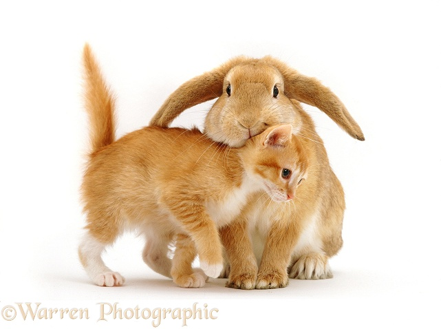 Ginger female kitten, Sabrina, rubbing against a young sandy lop rabbit, white background