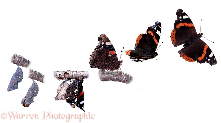 Red Admiral Butterfly (Vanessa atalanta) sequence showing adult hatching from pupa.  Worldwide, white background