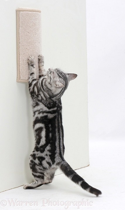 Silver tabby cat using a scratch-post, white background