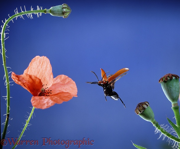 Cardinal Beetle (Pyrochroa coccinea) taking off from poppy seed head.  Europe