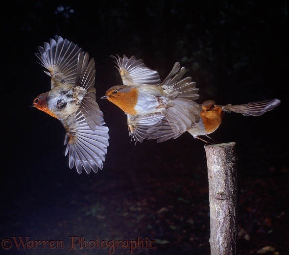 European Robin (Erithacus rubecula) taking off.  Triple exposure at 30 millisecond intervals.  Europe