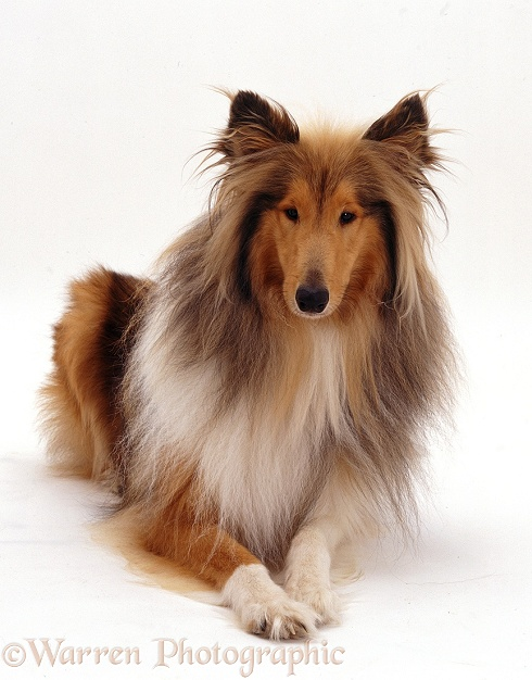 Rough Collie Hadley lying, white background