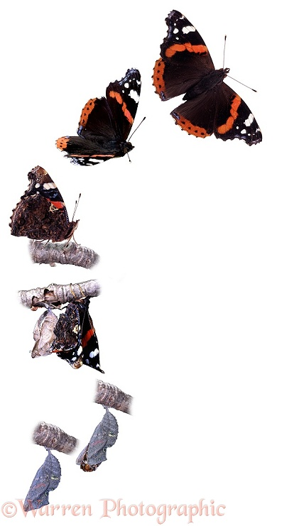 Red Admiral (Vanessa atalanta) hatch sequence showing emergence from pupa to flying off.  Worldwide, white background