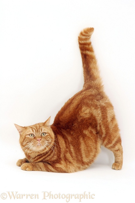 large ginger cat soft toy