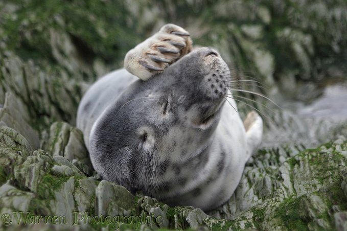 Grey Seal (Halichoerus grypus) pup