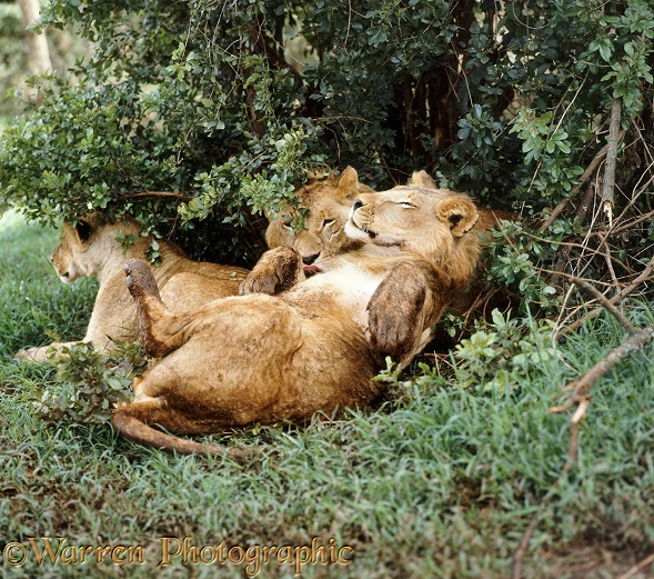 Two young African Lions (Panthera leo) and their sister dozing in the sun after a wet night