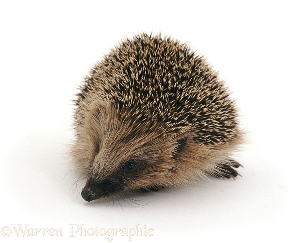 Hedgehog (Erinaceus europaeus) sniffing around, white background