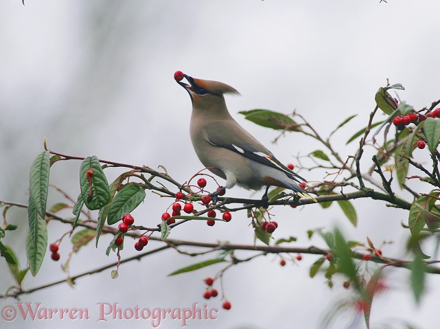 Waxwing (Bombycilla garrulus) feeding on cotoneaster berries in late winter.  Europe & Asia