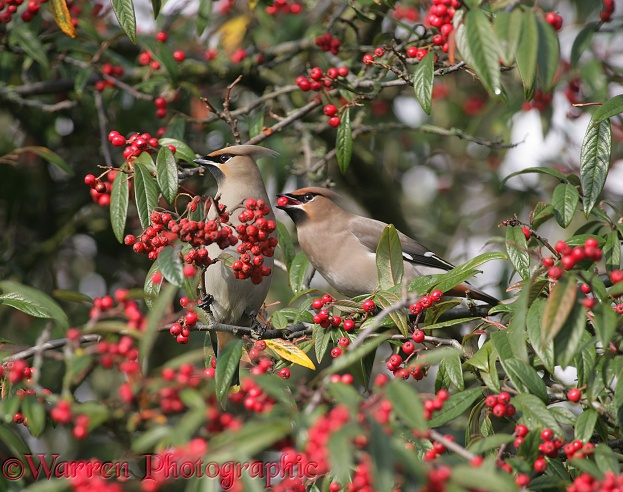 Waxwings (Bombycilla garrulus) feeding on cotoneaster berries in late winter.  Europe & Asia