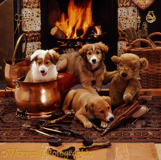 Border Collie pup Bubbles (in copper coal scuttle) with brothers Dylan and Jolly, 9 weeks old, with Grandpapa Bear, in front of Victorian fireplace