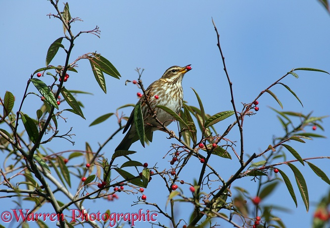 Redwing (Turdus iliacus) feeding on cotoneaster berries in late winter