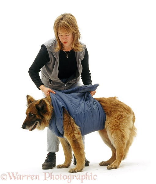 German Shepherd Dog Shamus, 11 years old, wearing owner's old body warmer to help him stand and walk, white background