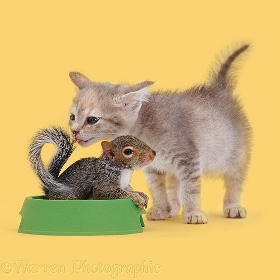 Grey kitten licking at Grey Squirrel in food bowl, white background