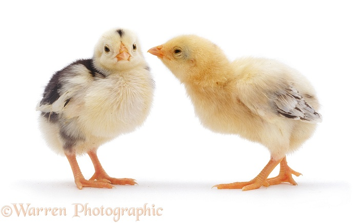 Sumatran Game chick, 6 days old, white background