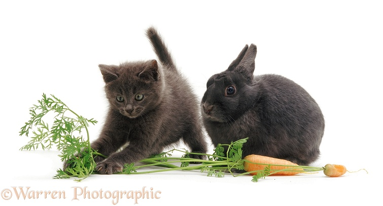 Grey kitten and rabbit with carrot, white background