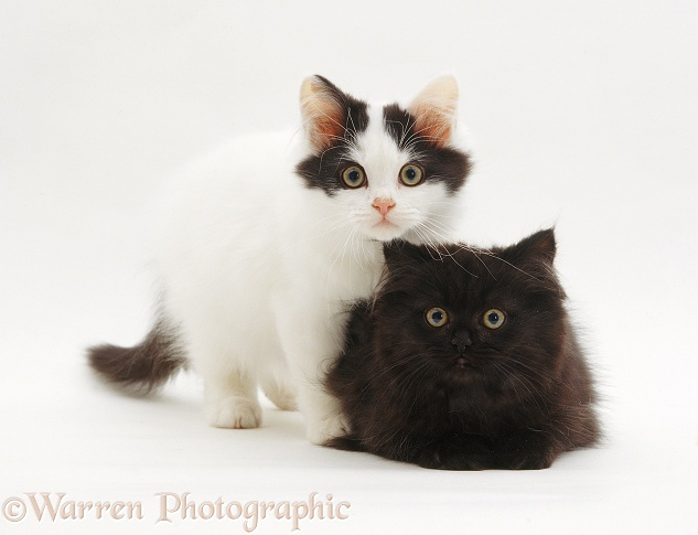 Two cute kittens, white background