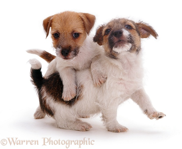 Two Jack Russell Terrier pups playing, white background