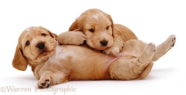 Two Golden Cocker Spaniel pups rolling, white background
