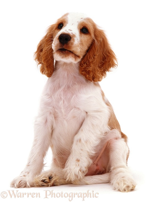 Orange Cocker Spaniel pup Naomi, white background
