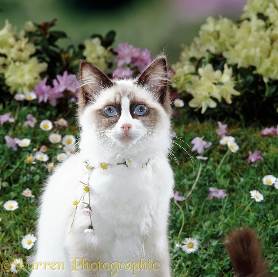 Cat with daisy-chain round its neck