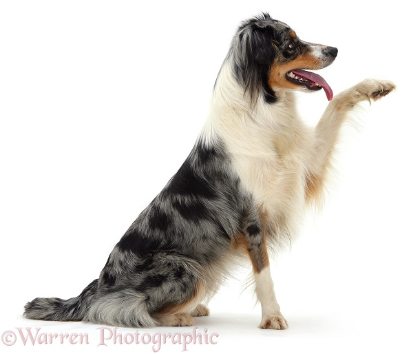 Blue merle Border Collie bitch, Sable, with raised paw, white background