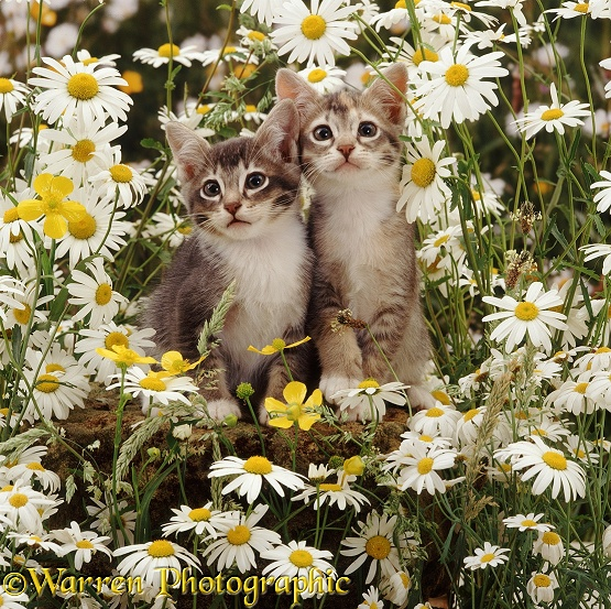 Burmese-cross kittens among ox-eye daisies and buttercups