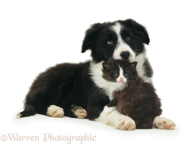 Black-and-white Border Collie and kitten, white background