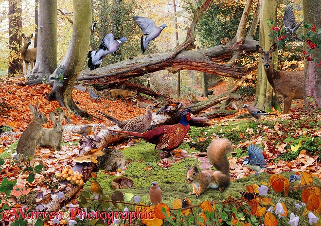 Wood Pigeons (Columba palumbus) in flight, Roe Deer (Capreolus capreolus), Red Squirrel (Sciurus vulgaris), Hedgehog (Erinaceus europaeus) and others in autumnal woodland scenery